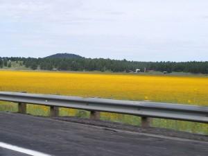 MustardBlooms