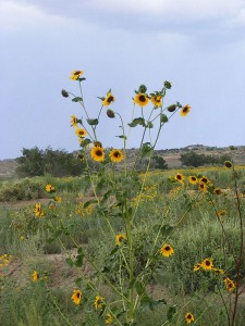Sunflowers In Gallup